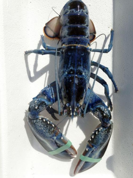 Blue lobster.jpg